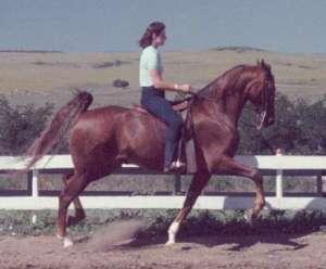 saddle seat horses