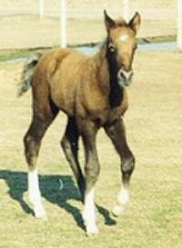 Gaited Horses Nursery